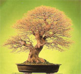 La web del Bonsai